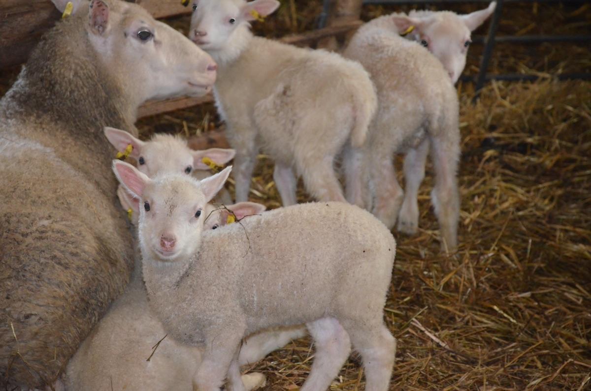 myytävänä lampaita oulu
